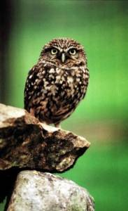 A common little owl